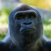 Gorilla 11: Mandaazi (14 year old)