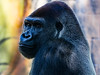 Gorilla 6: Mandaazi (14 year old)