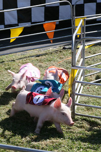 Pig racing was one of many events that entertained the public at the San Mateo County Fair, which opened its gate Friday for the first time. The Ham Bone Express, which puts on the race, is a traveling show that tours different fairs around the country.  It is their third year of participation in the San Mateo County Fair.  Several races are held, each with different types of pigs competing to be the one to get an Oreo cookie.  Last year over140,000 people visited the San Mateo County Fair and this year attendance is expected to exceed that by 10,000.  The fair runs through Sunday August 19th.