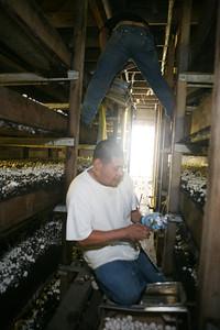 Workers at Pacific Coast Mushrooms in Pescadero Ca, harvesting mushrooms in the dark rooms.