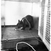 Lost bear cub  at SPCA shelter, 1951