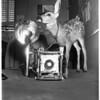 Found deer, 1951