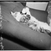 Lazy cat -- drinking out of a bottle, 1951