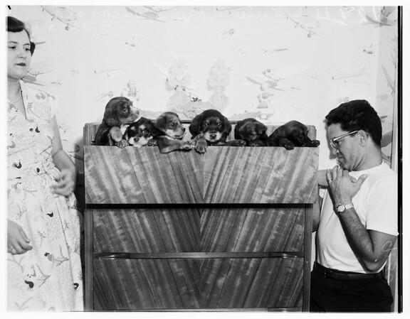 Hungarian sheep dogs, 1951