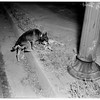 Dog guards dead pal, 1951