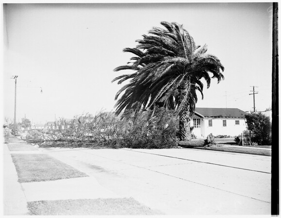 Tree blown down across street at 212 West 93rd Street, 1951