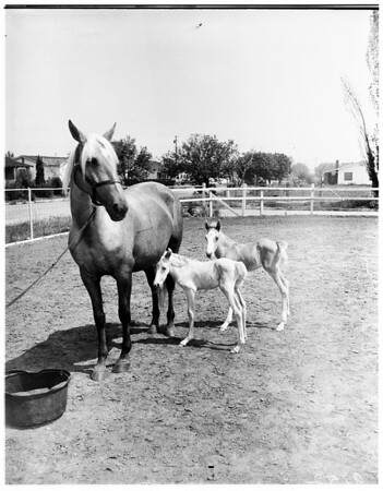 Twin colts, 1951