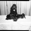 French poodle and puppies, 1957