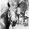 """""""Tom Boy"""" Horse Interview, 1958"""