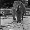 Elephant at Griffith Park Zoo, 1958