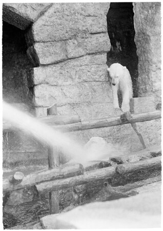 Griffith Park Zoo animals beat the heat, 1959