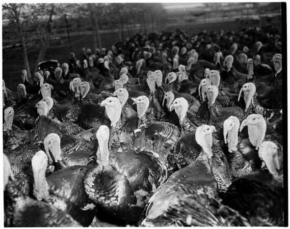 Turkeys (Cherry Valley near Beaumont, Calif.), 1952