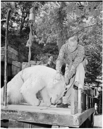 Griffith Park Zoo dead bear, 1961