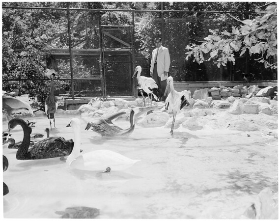 Storks brought to Griffith Park Zoo, 1959