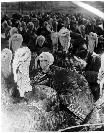 Turkeys (Cherry Valley near Beaumont, Calif.), 1952