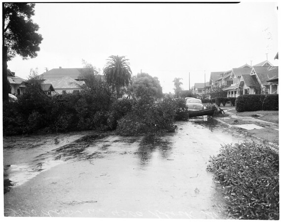 Tree down in storm, 1952