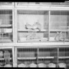 Bird shipment, rare cockatoos arrive from Australia, 1952