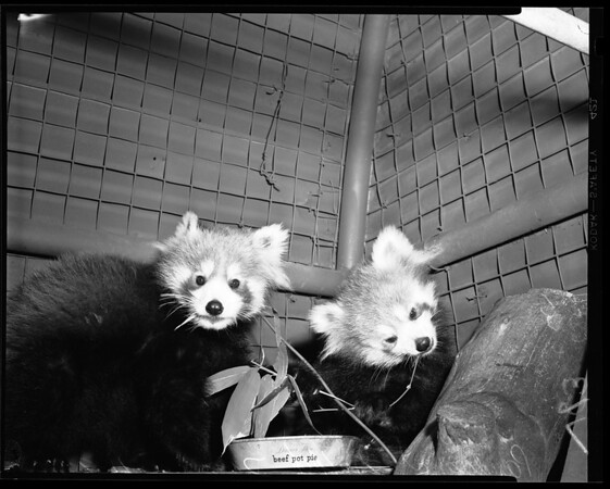Pandas at Griffith Park Zoo, 1954