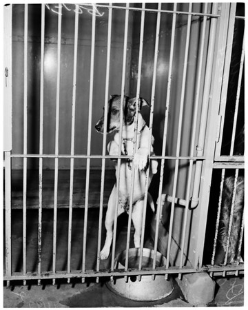 Little puppy beaten by Joseph Lattuga (Ann Street [Animal] Shelter), 1954