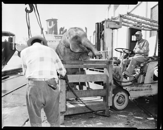 Baby elephants, 1954