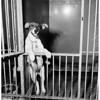 Little puppy beaten by Joseph Lattuga (Ann Street [Animal] Shelter), 1954