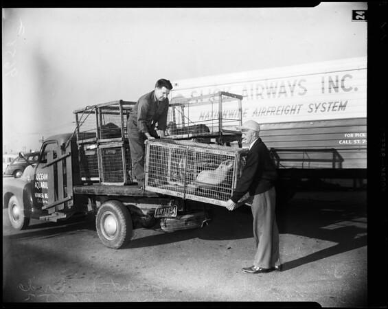 Sea lion shipment, 1952