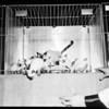 Cat show (Long Beach) -- Fifth annual championship of short hair cat show, Long Beach Aiditorium), 1952