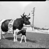 Dairy champion milk producer, 1952