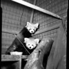 Pandas at Griffith Park Zoo, 1954