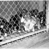 Ann Street Animal Shelter and SPCA Shelter at Christmas time, 1954