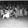 Poodle show at Miramar Hotel, 1951