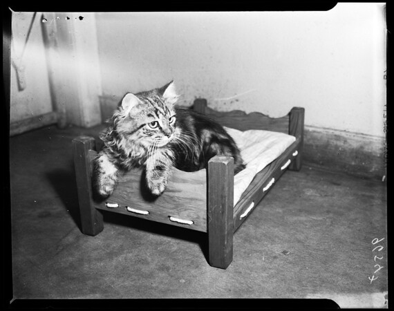 Cat show (Long Beach) -- Fifth annual championship of short hair cat show, Long Beach Aiditorium), 1952