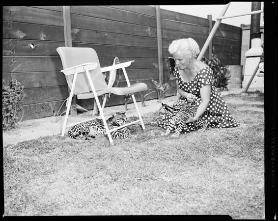 Ocelots club being formed, 1954