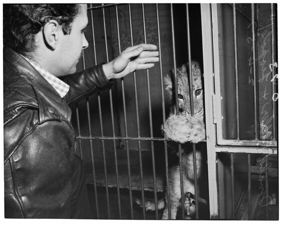 Lost lion cub returned, 1957