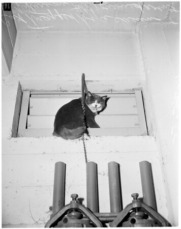 Cat trapped (county building, Santa Monica),  1955