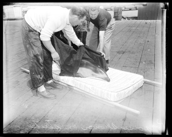 Porpoise (2) being transfered, Marineland of the Pacific Aquarium, 1954