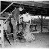 Sheep shearing at Pierce Junior College, 1953
