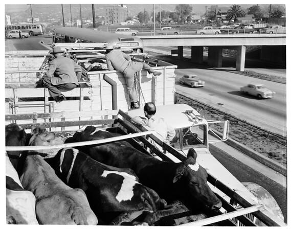 Loose cows, 1953
