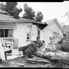 Uprooted tree does same to house at 1549 Ben Lomond Drive in Glendale, 1954