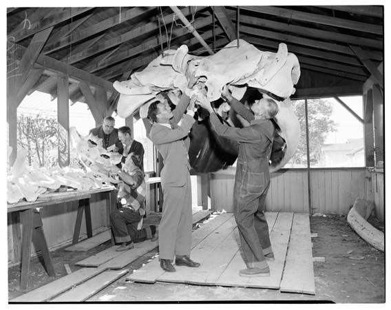 Whale skeleton (City of Long Beach Museum at Colorado Lagoon, Long Beach), 1954