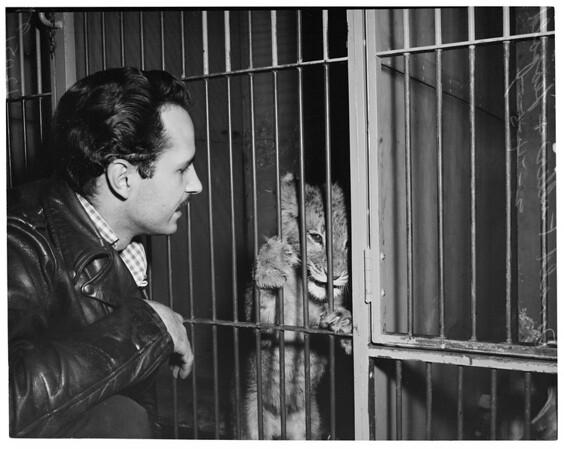 Lost lion cub returned, 1957