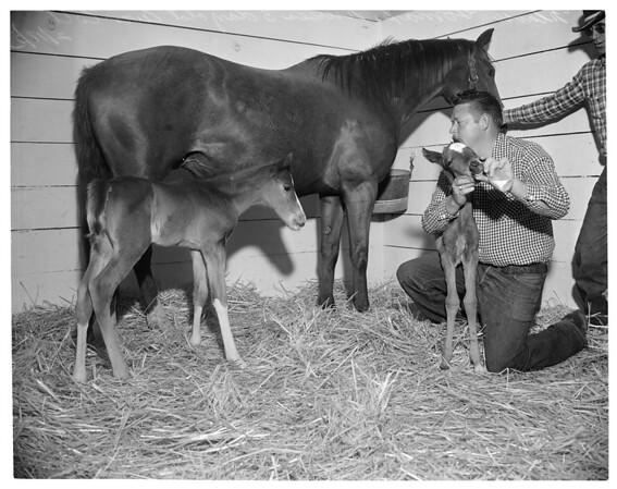 Twin horses, Northridge Farms, 1953