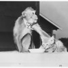 Monkey and cat, 1951