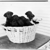 Ten orphan puppies, 1952