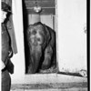 Elephant arrives from Bangkok, 1952