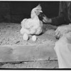 """Betty"" the hen shown with the large egg she laid, next to smaller one produced by her, 1951"