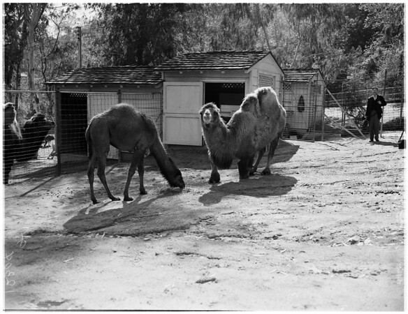 """Camels """"Rebecca"""" and """"Sue"""", 1958."""