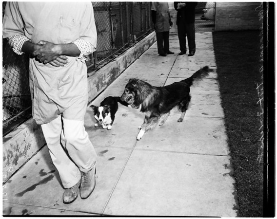 Dog at 11th Avenue shelter lets dogs out of kennels, 1958