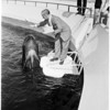 Anniversary of whale at Marineland, 1958.