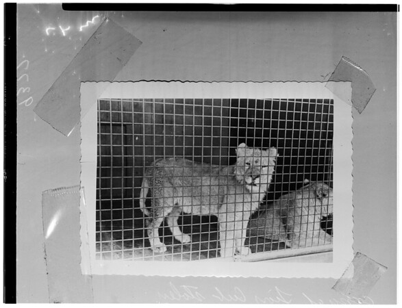 Grand Theft (Lion Cub), 1951